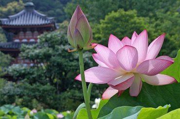 Lotus Flower 2 - Vietnam destinations