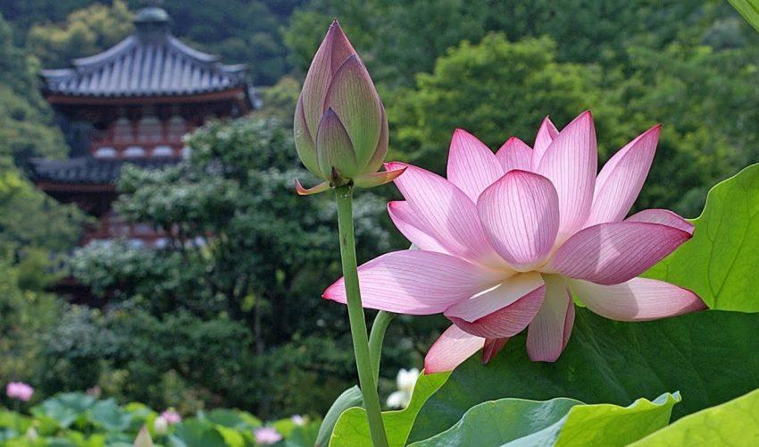 National Flower Lotus Flower Code M19 005