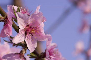 Peach & Plum Blossom Festival