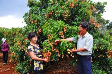 FARMER LIFE: HARVESTING ORANGES/LONGAN /LYCHEE